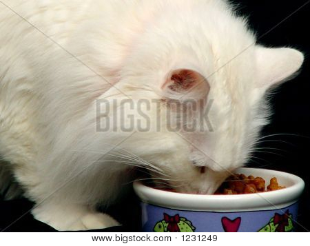 Famished Angora Cat Eating Food