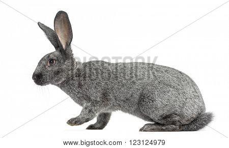 Argente rabbit walking, isolated on white