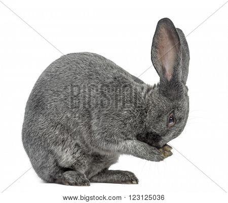 Argente rabbit washing, isolated on white