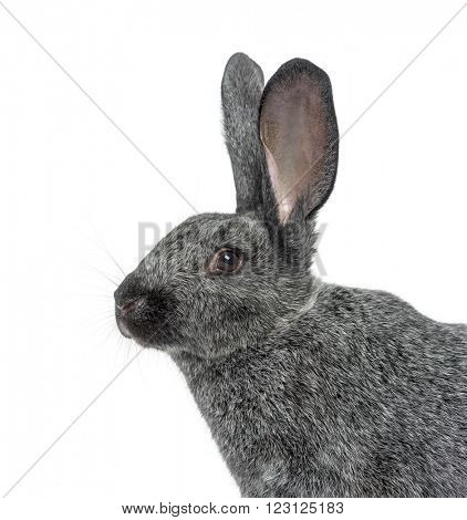Close up of an Argente rabbit isolated on white