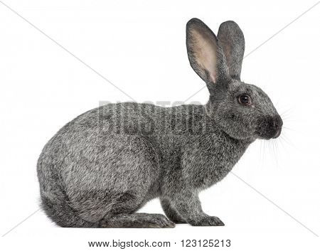 Argente rabbit isolated on white