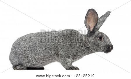 Argente rabbit isolated on white