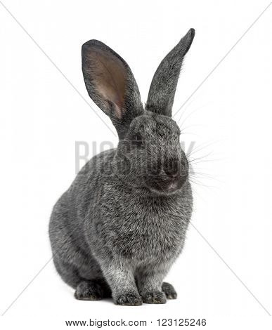 Argente rabbit sitting, isolated on white