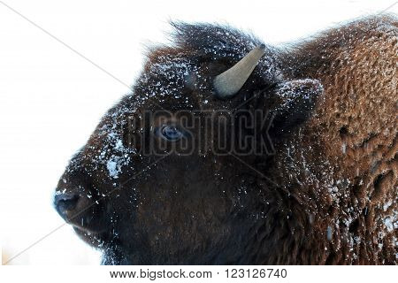 American Bison Buffalo yearling in winter in Yellowstone National Park in Wyoming USA