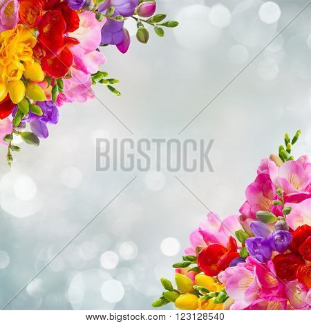 yellow, red, pink and blue freesia flowers frame over blue background