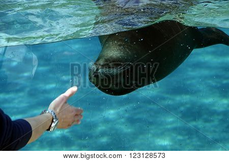 Sea lion swimming in an aquarium and man's hand calling the animal