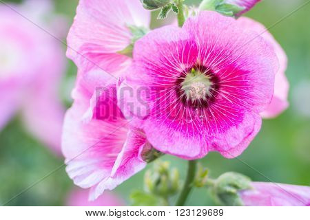 Flowers Holly Hock (hollyhock) Pink In The Garden
