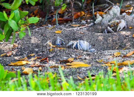 Blue land crabs digging in the soil and guarding their burrows in Key West, Florida, USA