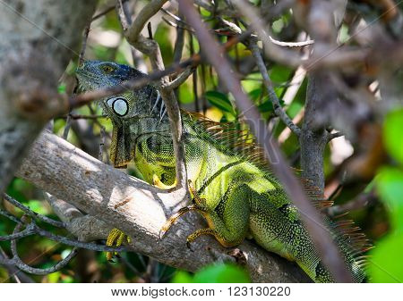 Green iguana with spines and dewlap sitting on a tree hidden in the branches in Key West Florida USA.