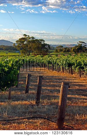 Barossa Valley Vineyard with early morning cloudy sky in South Australia