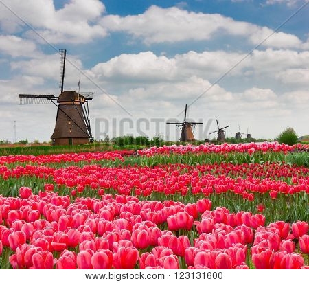 dutch windmills with blooming tulips at spring,  Holland