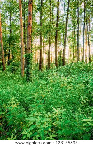 Summer Green Deciduous Forest Trees. Focus on Nettles in Foreground
