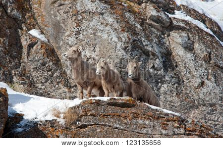 Three Young Bighorn Mountain Sheep outside Jackson Hole Wyoming USA on a rock cliff ledge