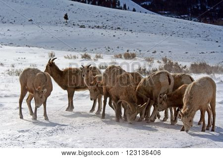 Bighorn Mountain Sheep herd outside Jackson Hole Wyoming USA