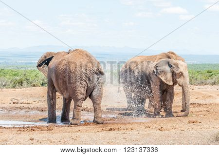 An African Elephant Loxodonta africana spraying it self with water