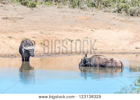 Two African Buffaloes Syncerus caffer in the water of a dam