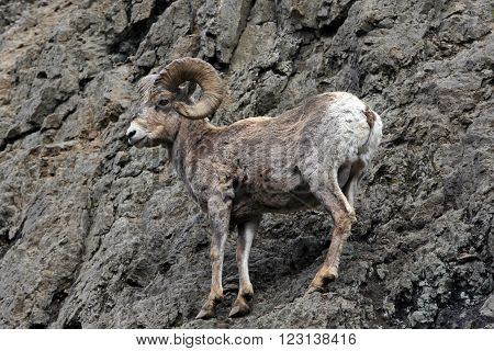 Bighorn Sheep surveying the terrain in Yellowstone National Park in Wyoming USA