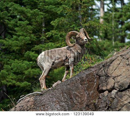 Bighorn Sheep Ram in Yellowstone National Park in Wyoming USA