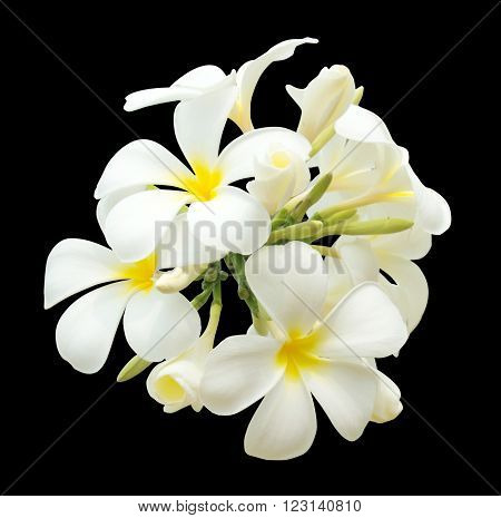 bouquet of white plumeria isolated on the black background with clipping path