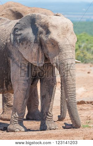 A mud-covered African Elephant Loxodonta africana resting its trunk on the ground