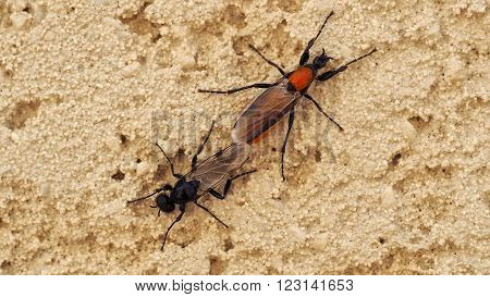 Two fly insects mating on the wall.