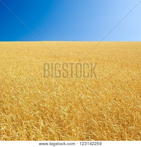 Wheat field and clear sky.
