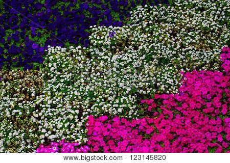 Flower bed with purple and pink petunia and blue ageratum