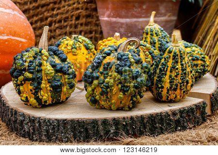 Warty goblin pumpkins on a stump closeup