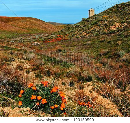 California Golden Poppies - springtime in the high desert of southern California near Lancaster CA