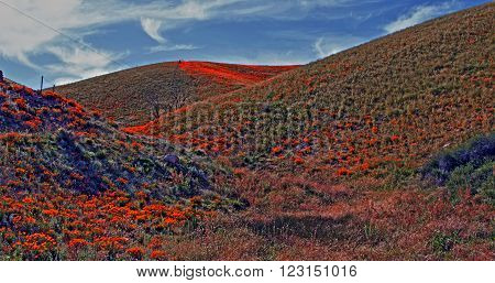 California Golden Poppies during springtime in the high desert of southern California near Palmdale CA