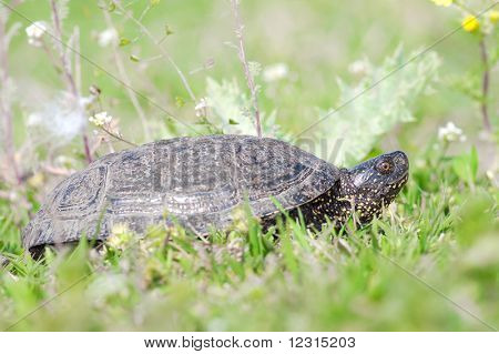 The European marsh turtle