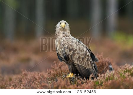 White-tailed eagle (Haliaeetus albicilla) on the ground