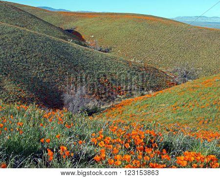 California Golden Poppies during springtime in the high desert of southern California near Quartz Hill