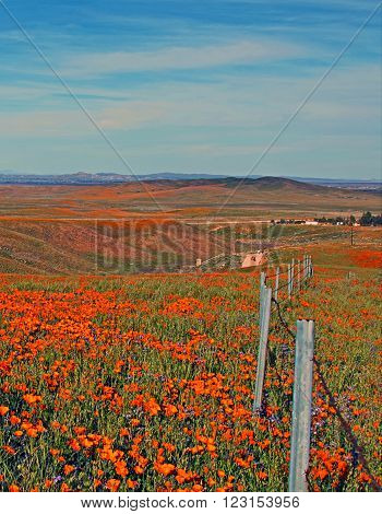 California Golden Poppies with barbed wire fence during springtime in the high desert of southern California near Quartz Hill