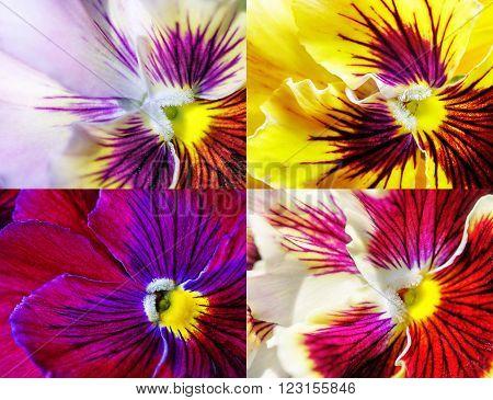 Viola tricolor. Beautiful flower close up image.
