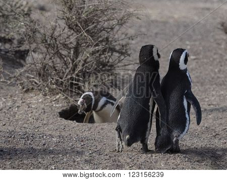 Magellanic penguin (Spheniscus magellanicus) as seen in the wild in Patagonian Argentina at Punta Tombo.