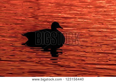 Canada Goose - Branta canadensis silouette against water reflectiing a fiery red sunrise.