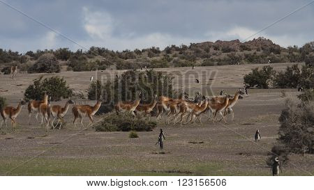 Herd of wild Patagonian Lama Guanaco (Lama guanicoe). Seen at Punta Tombo Argentina with Magelanic Penguins.