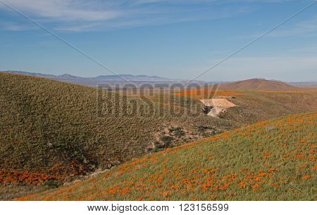 California Golden Poppies in spring located in the high desert hills between Lancaster and Palmdale California USA
