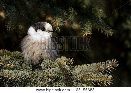 Gray Jay - Perisoreus canadensis perched in a tree dark background