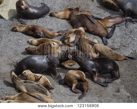Colony of South American Sea Lion - Otaria flavescens. Seen in Patagonia Argentina