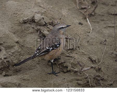 A wild Patagonian Mocking Bird (Mimus patagonicus)