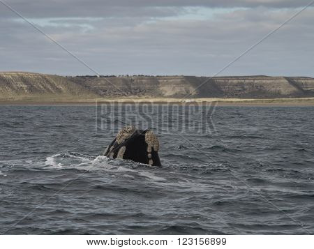 Southern Right Whale seen at Purto Pyramides Patagonia Argentina.