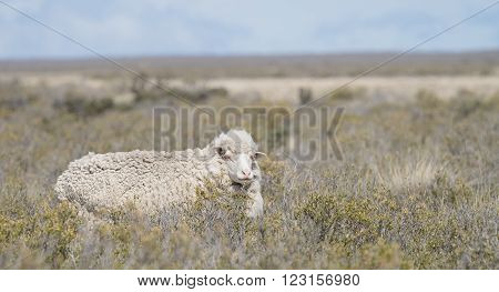 Patagonian sheep seen in a remote area south of Puerto Madryn Argentina.