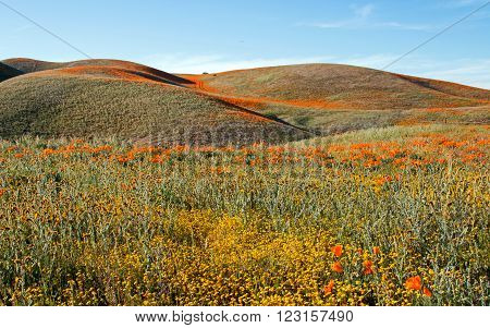 California Golden Poppies in spring located in the hills between Lancaster and Palmdale California USA