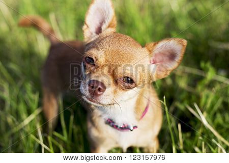 a tiny chihuahua on a grassy hill