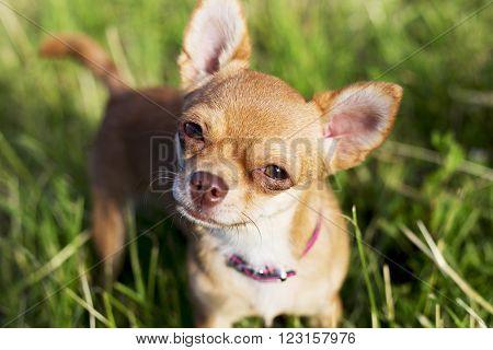 a tiny chihuahua on a grassy hill