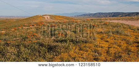 California Golden Poppies surrounding a country dirt road in spring located in the hills between Lancaster and Palmdale California USA