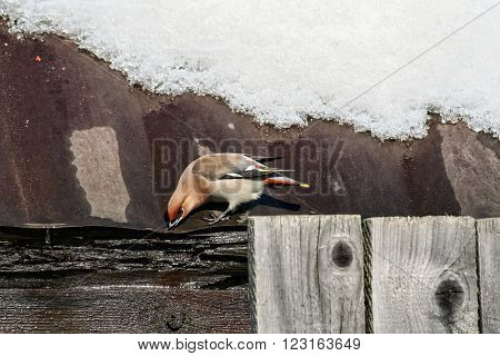 Waxwing drinking from a gutter on the rusty iron roof of an old barn on a sunny spring day