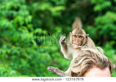 Monkey waiting for and looking for chance to stolen food in an island of andaman sea , thailand. Lipe island, monkey chews human hair